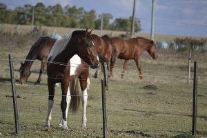 Imagen de tres caballos marrones y blancos detrás de un alambrado. Al fondo de observa un monte y el campo