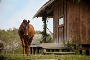 Imagen de un caballo marrón, caminando al costado de una casa de madera. Al fondo se observa una duna de arena con vegetación