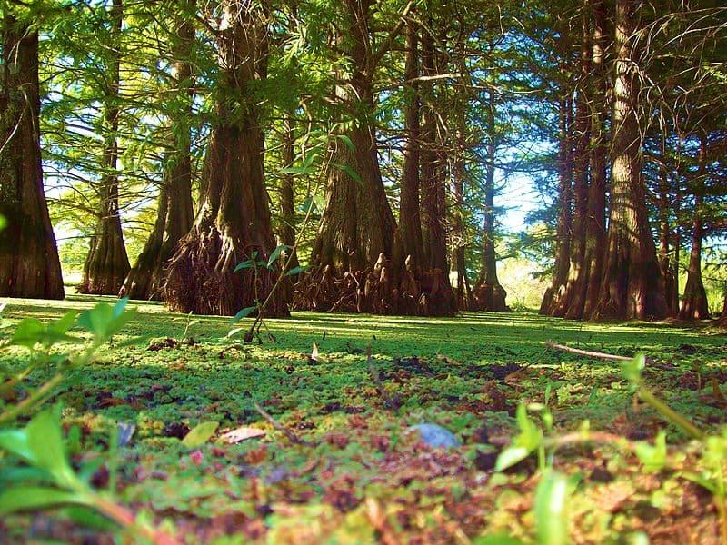 Imagen de varios árboles en Esteros de Farrapos, uno de los parques nacionales del Uruguay,a los que se les ve las raíces en la base; el suelo está lleno de hojas