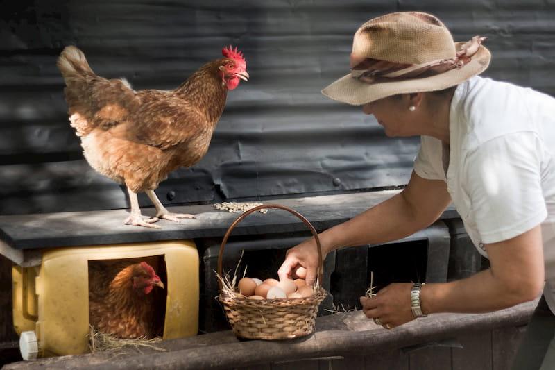 Una mujer recolecta huevos de una canasta; a su lado hay dos gallinas