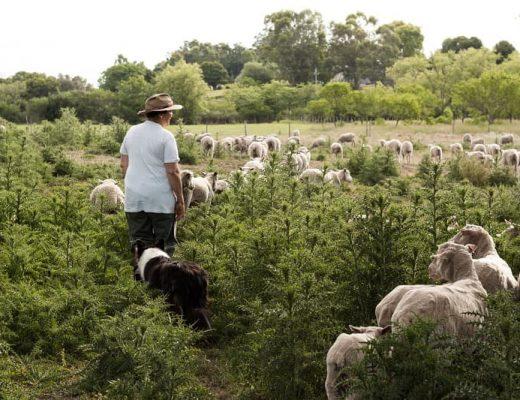 Una mujer camina por un campo observando una majada de ovejas